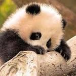 Thumb_baby_panda_2