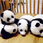 Thumb_baby_panda_4